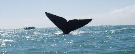 baleia franca Santa Catarina