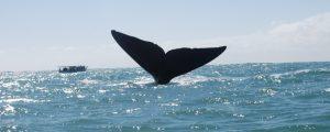 Baleia franca – o passeio de observação em Santa Catarina