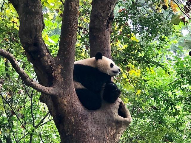 como visitar urso panda na china