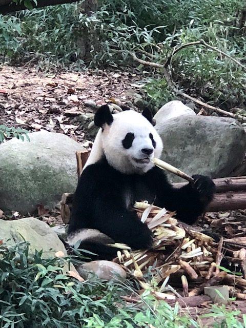 onde ver panda