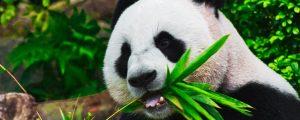 Pandas na China: onde ver, ser voluntário e abraçar